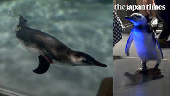 Monja the penguin chick's swimming debut at Sumida Aquarium
