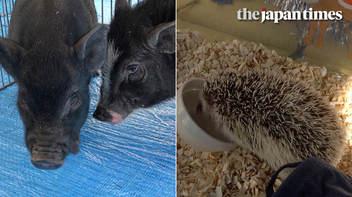 ミニブタからハリネズミへ:霞ヶ関で干支の引き継ぎ