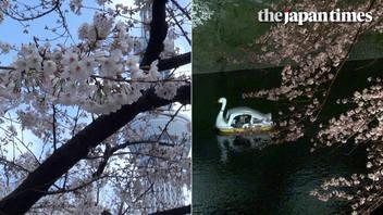 2019 cherry blossom season in Tokyo