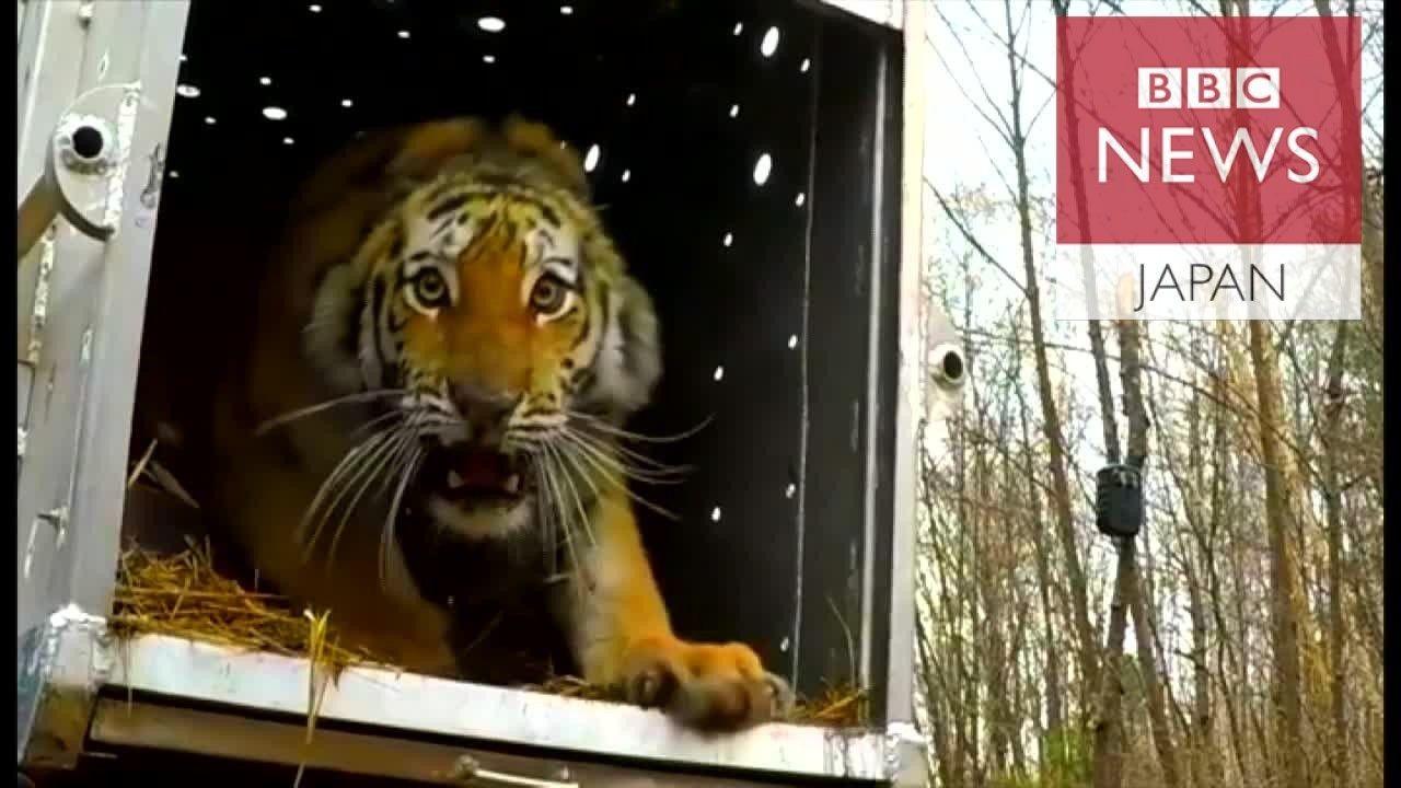 絶滅危惧のアムールトラ、ロシアの森林に戻され