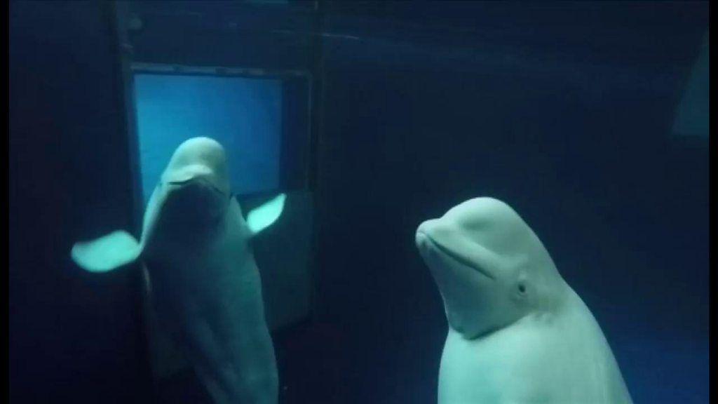 水族館のシロイルカ アイスランドに初の「引退後の住みか」