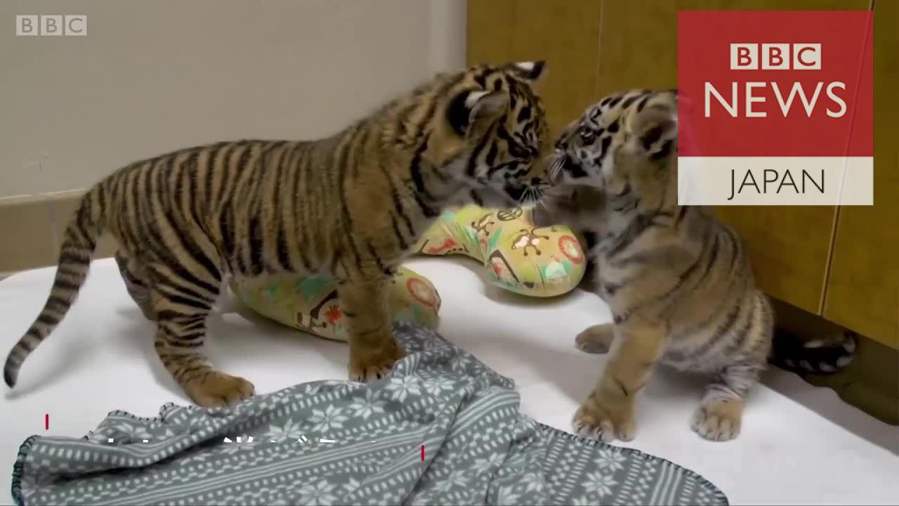 どちらもひとりぼっちだった……2匹の子トラが対面し