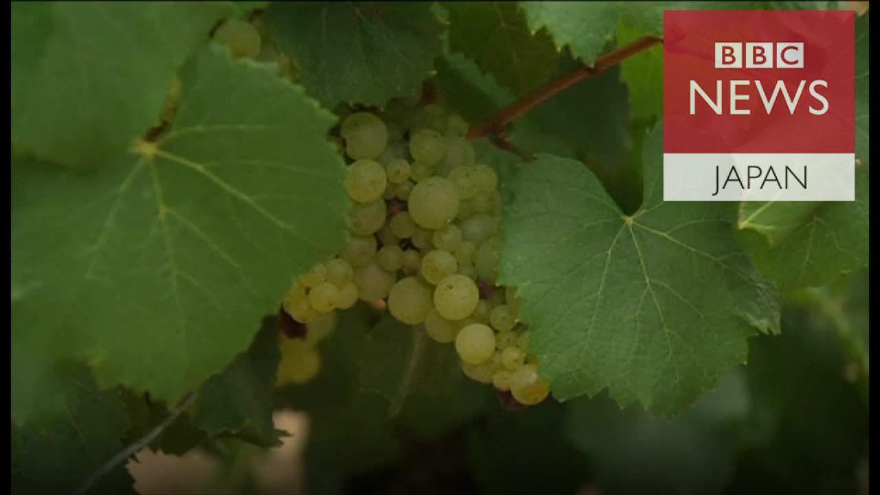仏ブルゴーニュ・シャブリ地区でブドウ不作 天候不順で