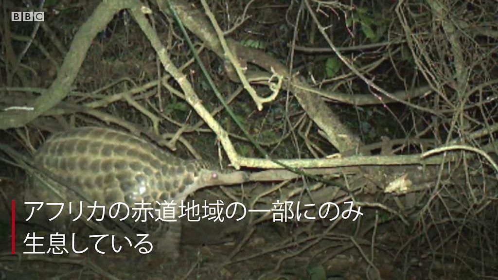 絶滅危惧種のオオセンザンコウ、貴重な撮影に成功 密猟で激減