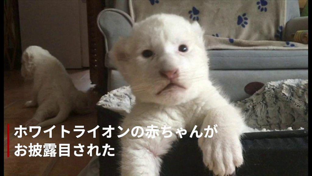 真っ白な「ナラ」と「シンバ」、珍しいホワイトライオンの赤ちゃんが誕生