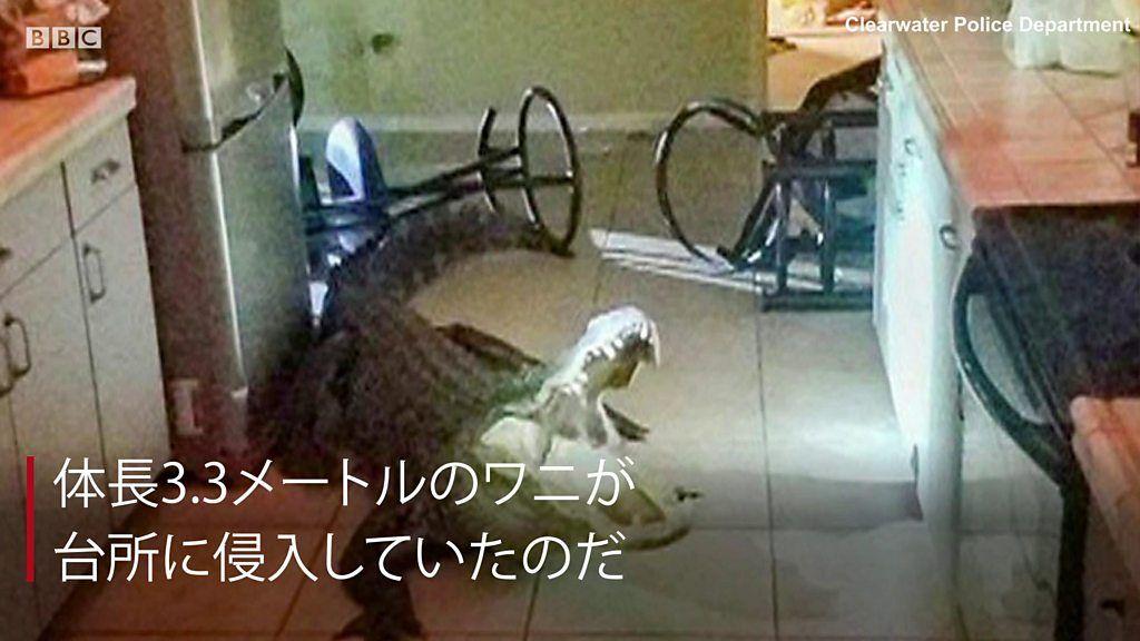 真夜中の台所に全長3.3メートルのワニが入り込んだら? 米フロリダ州