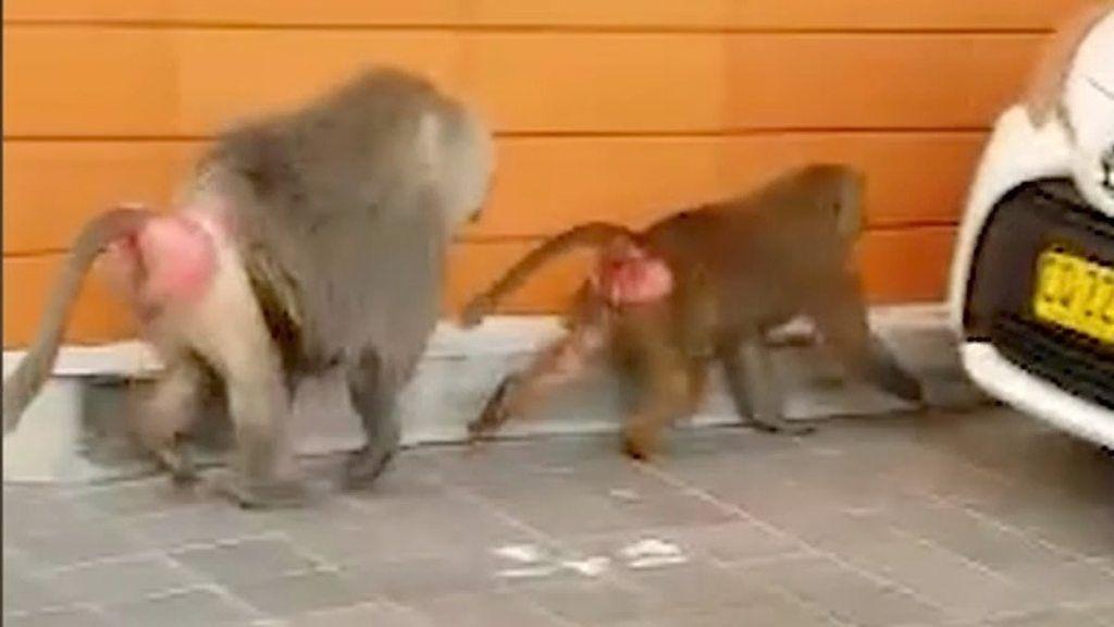 精管切除の手術からヒヒが逃走 シドニーの通行人呆然