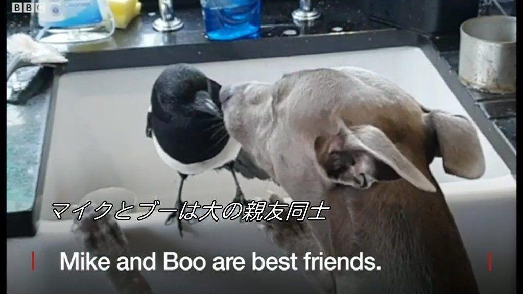ボロボロのカササギを散歩中の犬が見つけ……美しい友情の始まり