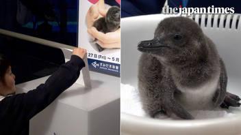 Newborn Magellanic penguin at Tokyo's Sumida Aquarium