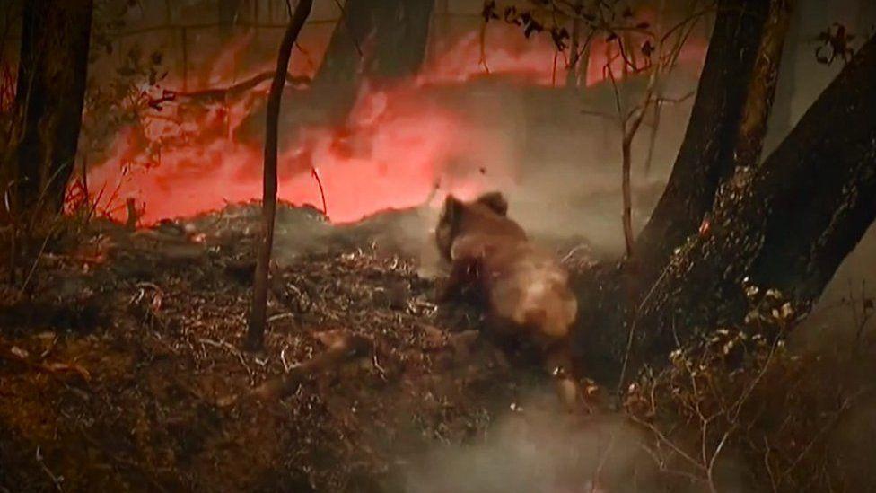 豪山火事、通行人がコアラを救出 生息地に火の手広がり数百頭死亡か