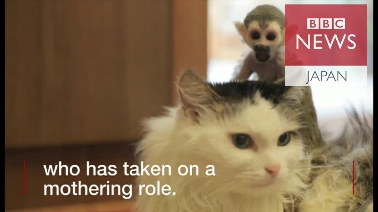 リスザルの赤ちゃん、猫が親代わりに