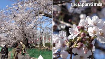 2020年春、都内各所の桜