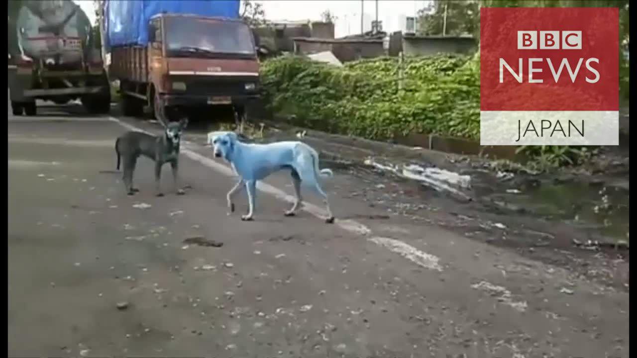 インドで青い犬相次ぐ 愛護団体が見つけたのは…