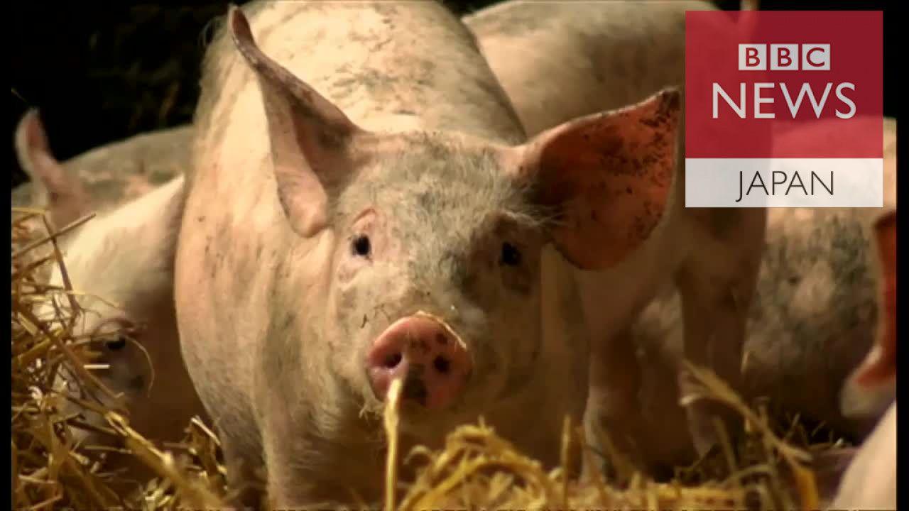 抗生物質フリーの豚に オランダ養豚を変えた少女